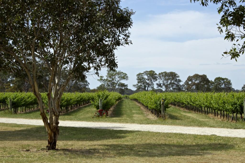 Penley Estate vines