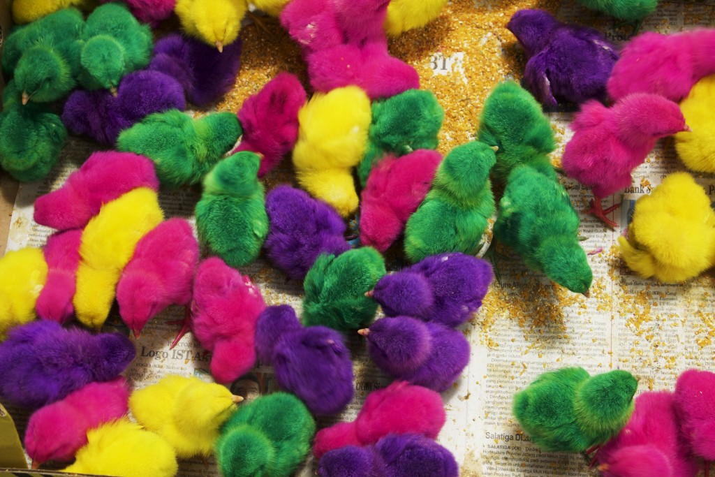 """These chicks at the bird market were dyed """"so the children can pick their favourite colour"""" Yogyakarta"""