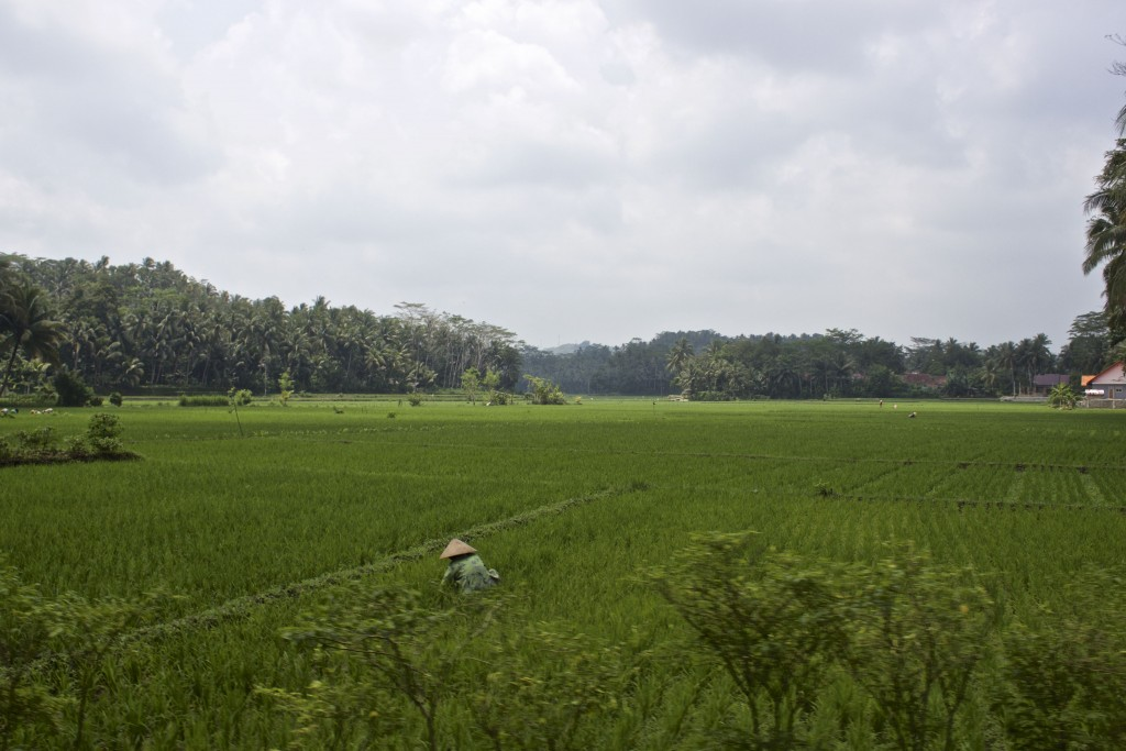 Rice paddies framed by the rainforests of Java